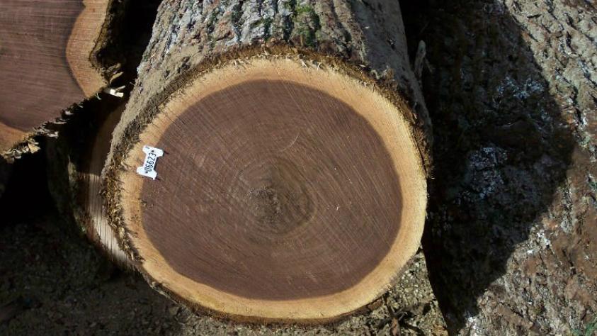 American Black Walnut Juglans Nigra Panatrees Inc Usa