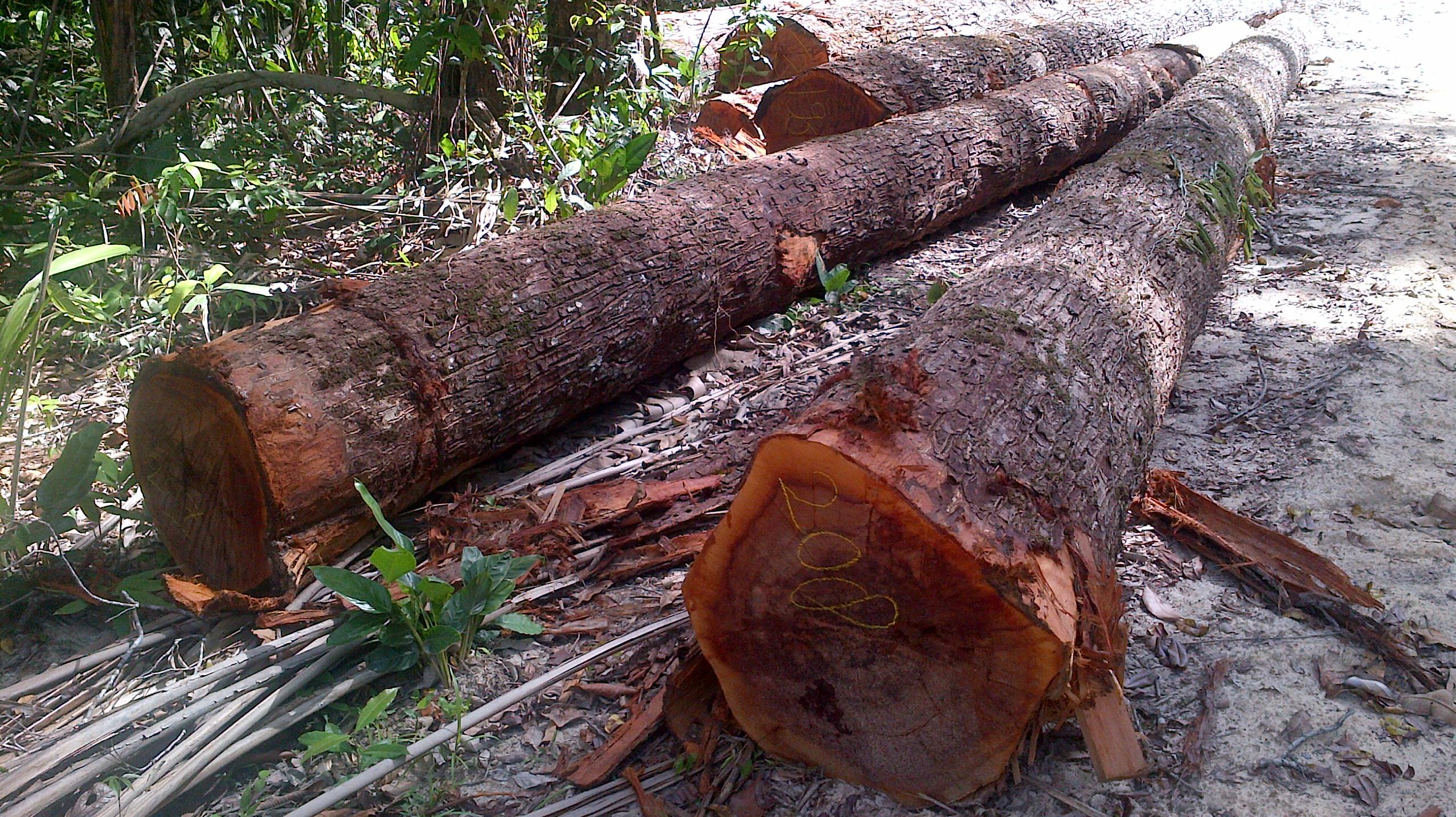Bulletwood logs